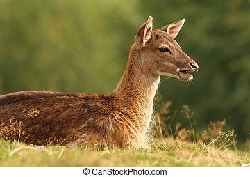 young fallow deer on a meadow