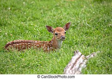 Young Fallow deer resting in a clearing