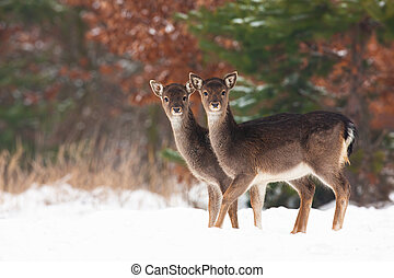 Young fallow deer siblings standing on field in winter.