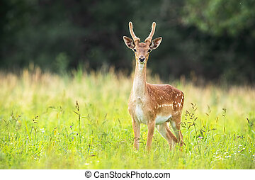 Young fallow deer stag standing on meadow in summer nature.
