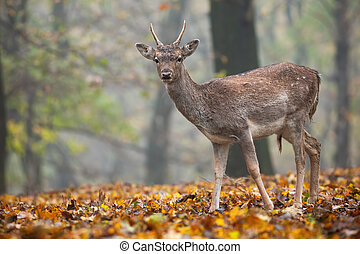 Young fallow deer standing in forest in autumn nature