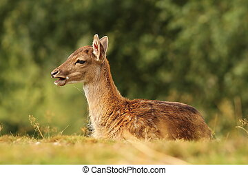 young fallow deer standing in the grass ( Dama )