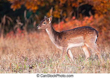 Young fallow deer standing on field in autumn sunset.