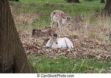 young fallow deers
