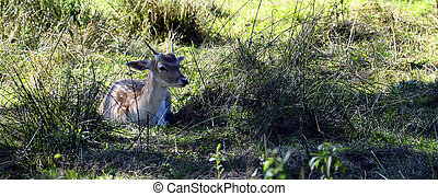 young fawn lying in the grass