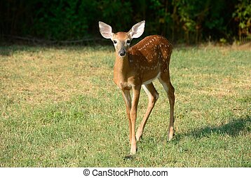 Young Fawn - Fawn in the wild at rural Georgia, USA.