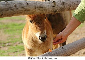 goat eating carrot