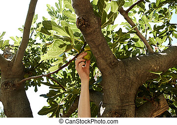 young female is picking figs from t