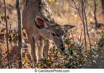 Young female Kudu eating some leaves.