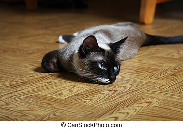 Snowshoe Lynx Point Siamese - Young female Snowshoe Lynx...