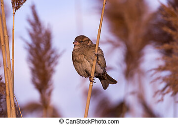 Young female sparrow (Passer domesticus)