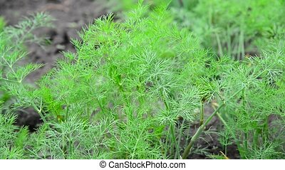 Young fennel in garden - Young fennel in the garden
