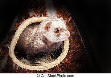 Young ferret in the house