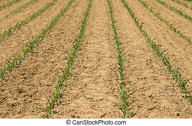 Young Field Corn in Rows