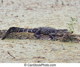Young Florida Alligator