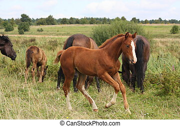 Young foal running free at the pasture - Young chestnut foal...