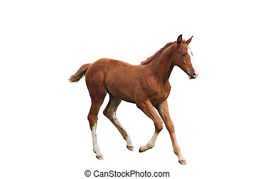 Young chestnut foal running free isolated on white