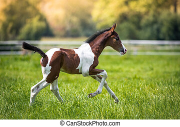 Young foal - Still very young brown / white foal runs across...