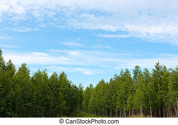young forest of birch trees