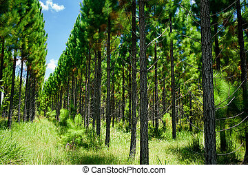 Young forest with rows of trees