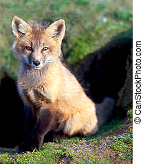Young Red Fox Sitting By Den