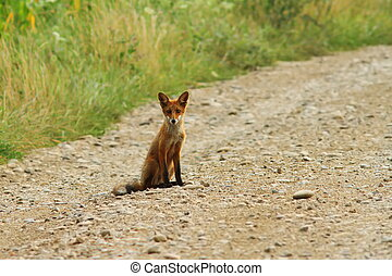 young fox on rural road