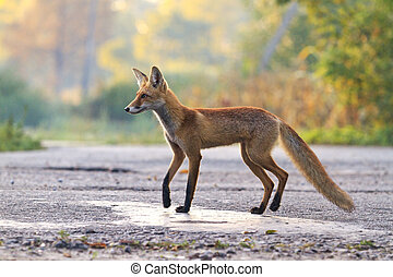 Young fox standing in the way