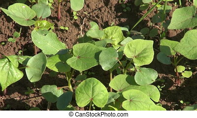 young fresh buckwheat crop sprouts