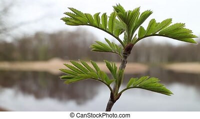 young fresh foliage mountain ash - Young fresh leaves of...