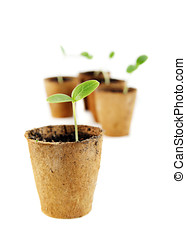 Young fresh seedling stands in peat pots on a white...
