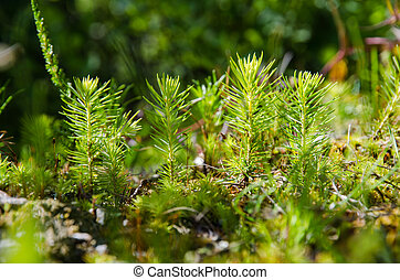 Young fresh spruce seedling