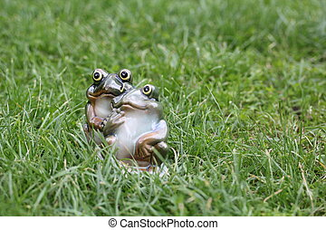 young frog couple sitting together among green grass on a bright day. two loving frogs looking up in hope and love on a summer holiday morning or evening - good life concept