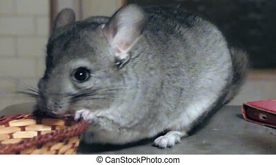 Young funny chinchilla playing background - Domestic playful...