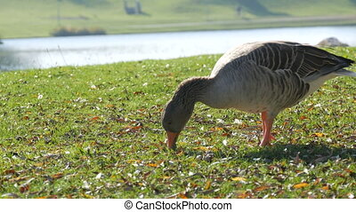 Young funny gray-white goose eating grass in the yard in early autumn