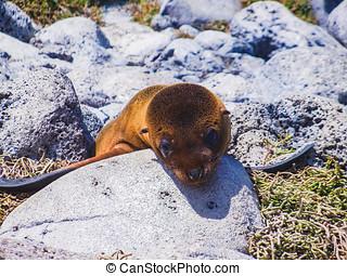 Young galapagos sea lion galapagos islands ecuador