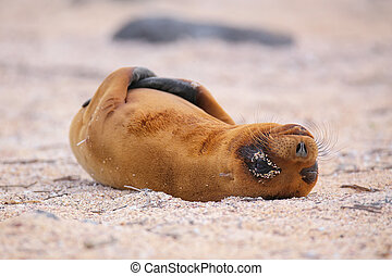 Young Galapagos sea lion lying on the beach on North Seymour Island, Galapagos National Park, Ecuador