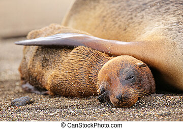 Young Galapagos sea lion lying with mother on Santiago...