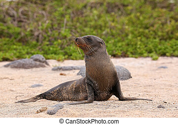 Young Galapagos sea lion on the beach on North Seymour Island, Galapagos National Park, Ecuador