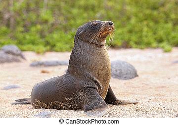 Young Galapagos sea lion on the beach on North Seymour Island, Galapagos National Park, Ecuador