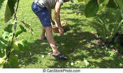 Young gardener man in shorts gather pick ripe apple fruits...