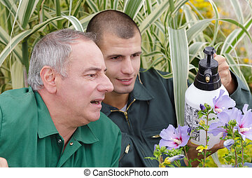 young gardener spraying hibiscus flowers