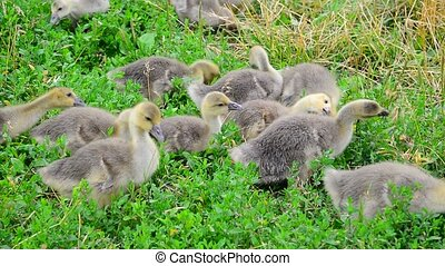 young geese eating grass - A young geese is eating grass...