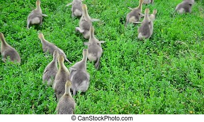 Young geese escape from camera on grass - A Young geese...