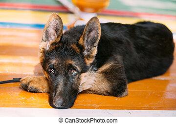 Young German Shepherd Dog Puppy Sitting On Wooden Floor. Alsatian Dog.