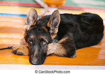 Young German Shepherd Dog Puppy Sitting On Wooden Floor. Alsatia