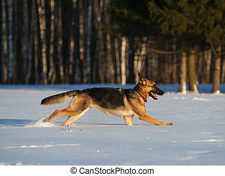 young german shepherd enjoying snow