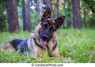 young german shepherd sitting on the grass in the park