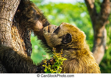 Young gigantic male Chimpanzee claiming tree in Habitat forest jungle. Chimpanzee in close up view with thoughtful expression. Monkey & Apes family