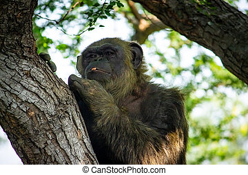 Young gigantic male Chimpanzee siting on a tree in Habitat forest jungle and looking at the camera. Chimpanzee in close up view with thoughtful expression. Monkey & Apes family
