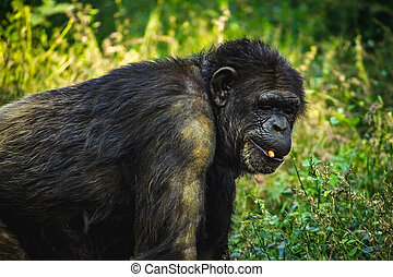 Young gigantic male Chimpanzee standing Captive Chimpanzees in Outdoor Habitat forest jungle and looking at the camera. Chimpanzee in close up view with thoughtful expression. Monkey & Apes family